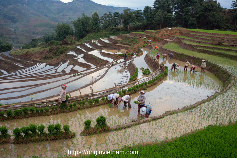 Planting rice in sapa