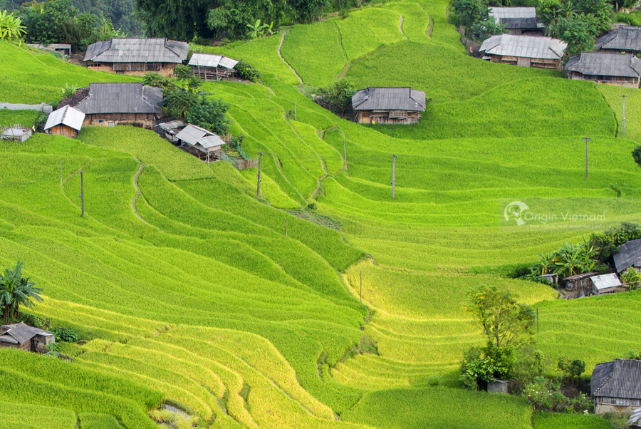 Green rice field at Hoang Su Phi