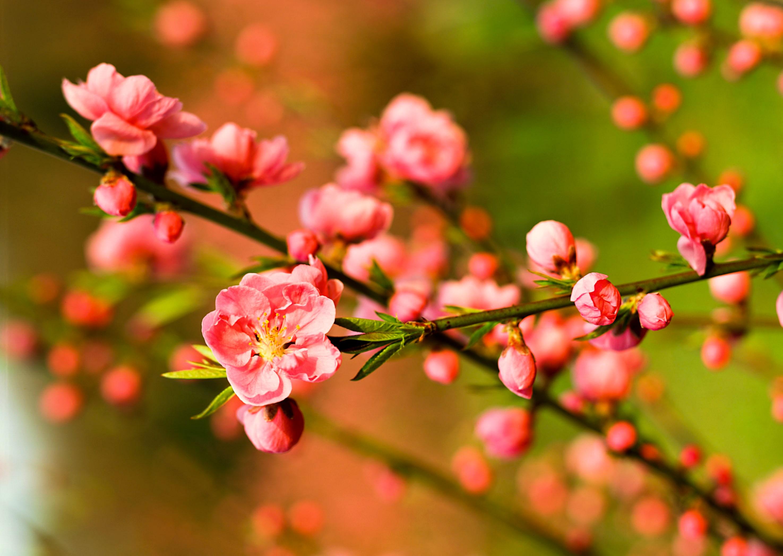 Peach flower Hanoi