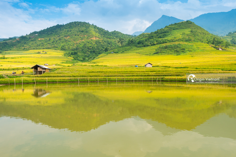 The ripe rice fields in Y Ty, Lao Cai