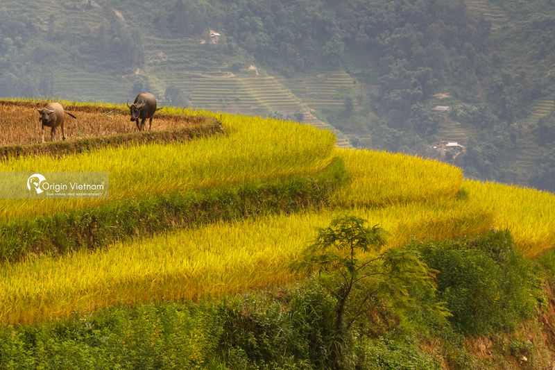 The terraced rice field in Hoang Su Phi