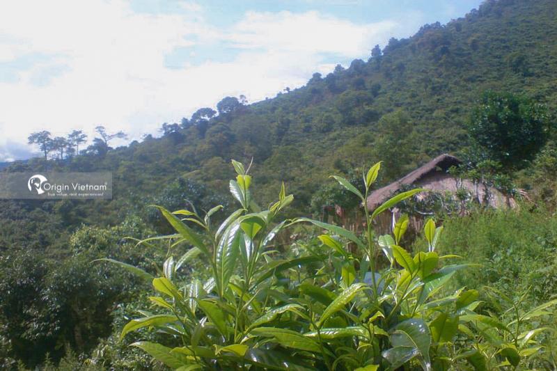 San Tuyet tea