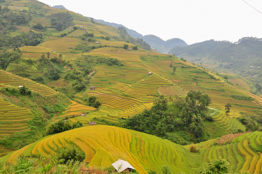 yellow terrace rice in Mu Cang Chai