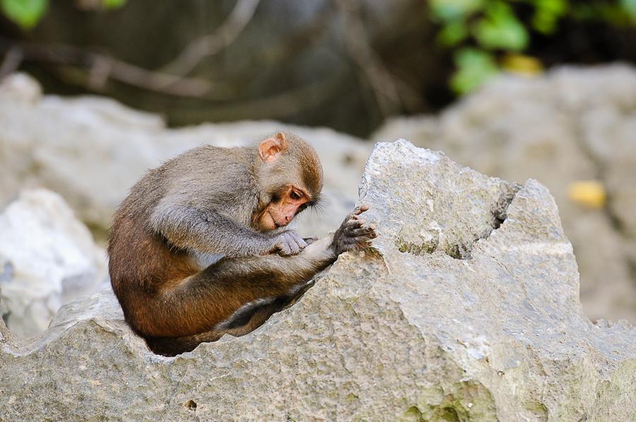 Monkey on Luon Cave