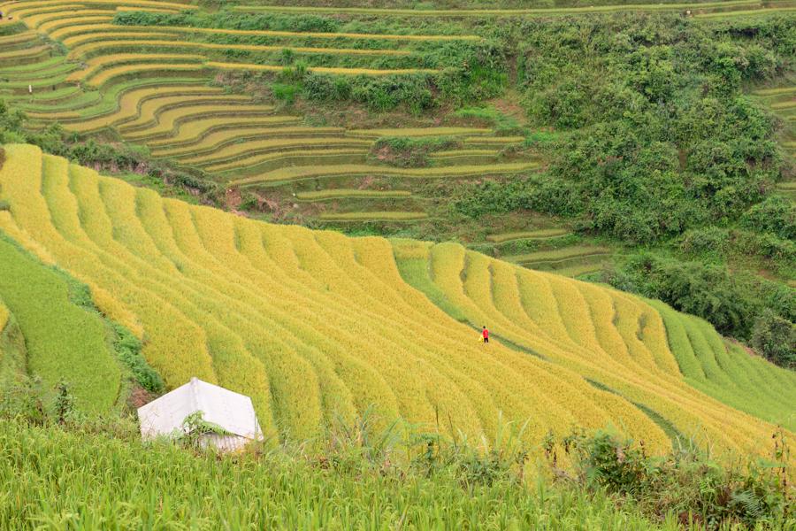 Terrace rice field in Tu Le