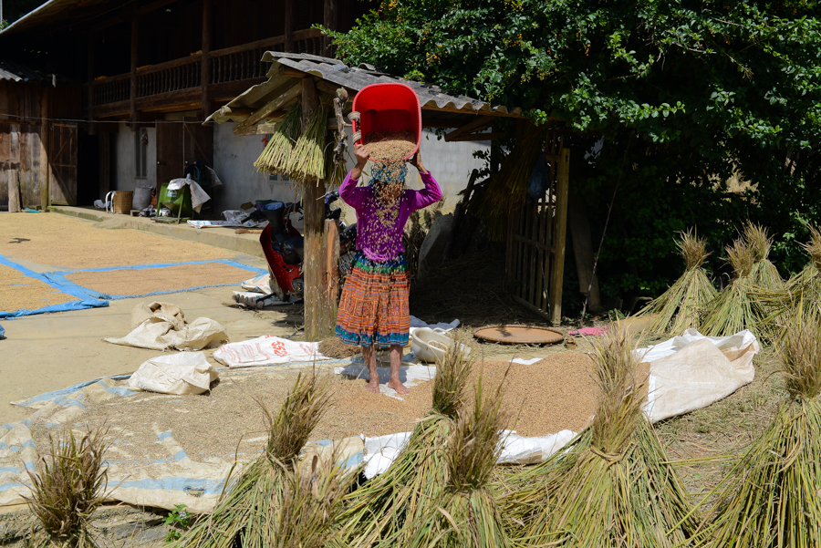 Farmer drying rice
